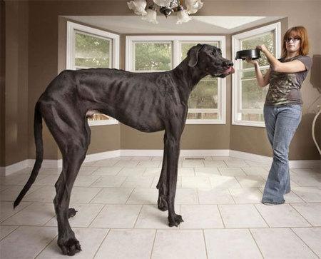 Chú chó cao nhất hành tinh - Thức ăn cho thú cưng | nanapet | Scoop.it