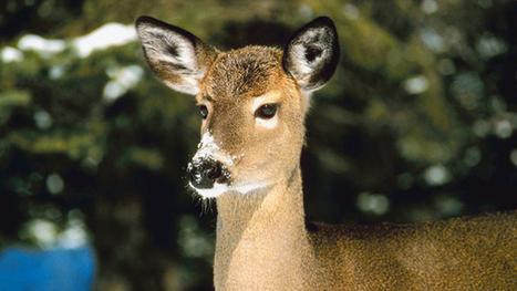 Despite Critics, Essex County Officials Say Deer HuntsNeeded - CBS New York | The Deer Hunting Topic | Scoop.it