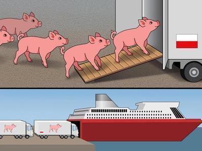 Atria laivaa eläviä porsaita Puolaan   Eläinten syömisestä   Scoop.it