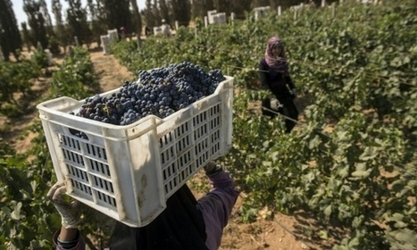 Egypt wineries struggle to revive derided industry | Charliban Worldwide | Scoop.it