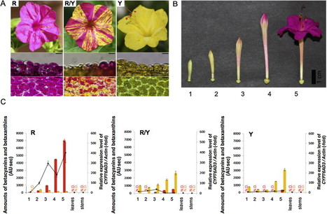 Transposon-mediated mutation of CYP76AD3 affects betalain synthesis and produces variegated flowers in four o'clock (Mirabilis jalapa) | plant cell genetics | Scoop.it