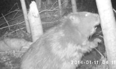 Britain's first wild beaver for 500 years caught on camera | Story Telling' How To | Scoop.it