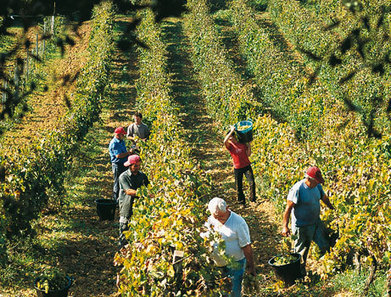 Italian yields shrink after hottest summer for 50 years | In The Vineyard | Scoop.it