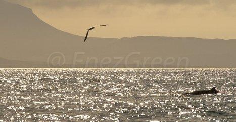 L'oiseau marin le plus rare d'Europe menacé d'extinction   EnezGreen   Tourisme insulaire durable   Scoop.it