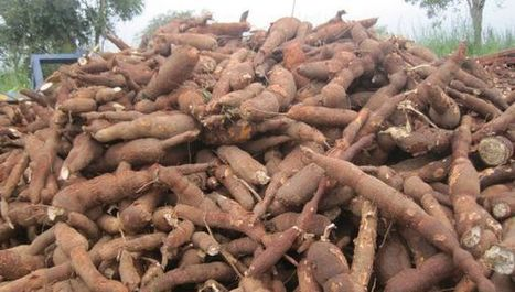 Cassava genome mapped to help boost its qualities | Virology News | Scoop.it