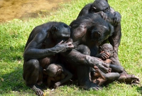 Why Bonobo Yawning Is Contagious - Science News | Rhino poaching | Scoop.it