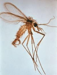 Les phlébotomes : espèces, cycle évolutif, rôle pathogène   EntomoScience   Scoop.it