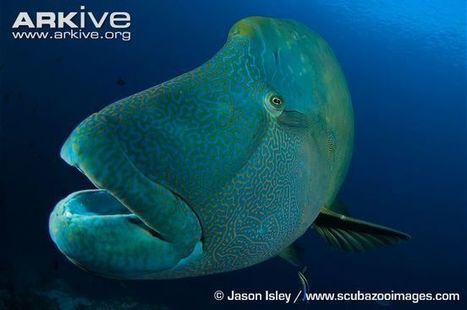 Humphead wrasse videos, photos and facts - Cheilinus undulatus - ARKive   Conservation Biology   Scoop.it
