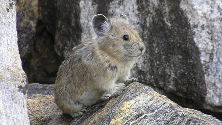 Protections rejected for American pika, other species | Advocating for Wildlife | Scoop.it