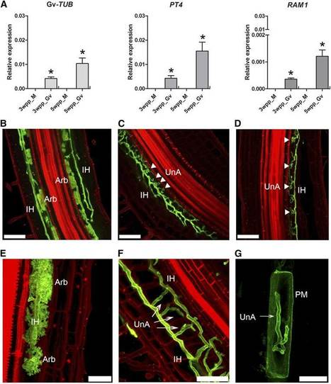 Plant Physiology: Hyphal Branching during Arbuscule Development Requires Reduced Arbuscular Mycorrhiza | Plant-microbe interaction | Scoop.it