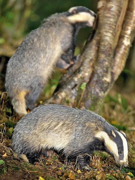 Badgered: How the cull got nasty | Life on Earth | Scoop.it