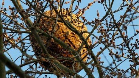 Un nid de frelon asiatique découvert dans la Loire - France 3 Rhône-Alpes | EntomoNews | Scoop.it