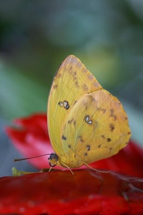 Photos de Papillons : Phoebis philea - Callidryas philea - Orange-barred (Giant) Sulphur, Yellow Apricot | Fauna Free Pics - Public Domain - Photos gratuites d'animaux | Scoop.it