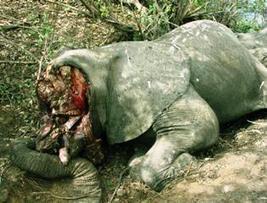 African troops to fight Sudanese elephant poachers - WWF - Sudan Tribune | Kruger & African Wildlife | Scoop.it