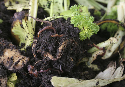 Web Exclusive - Do's and Don'ts of Composting Worms - Urban Farm Online | Aquaponics & Permaculture | Scoop.it