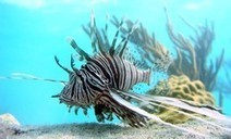 State easing lionfish rules to stem population - KeysNet.com | All about water, the oceans, environmental issues | Scoop.it