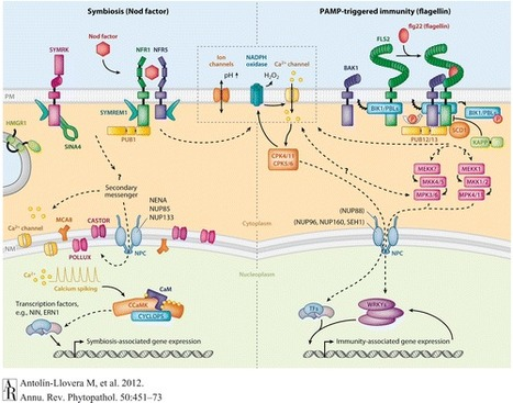 Receptor Kinase Signaling Pathways in Plant-Microbe Interactions - Annual Review of Phytopathology, 50(1):451 | learning plant | Scoop.it