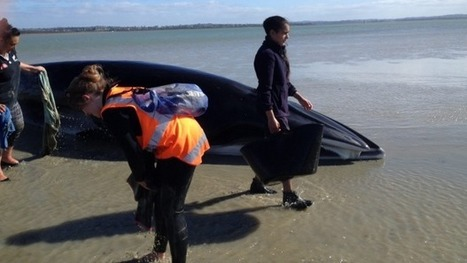 Beached whale now swimming free | All about water, the oceans, environmental issues | Scoop.it