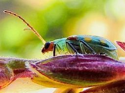 Biodiversity is the best defence against corn pests | Erba Volant - Applied Plant Science | Scoop.it