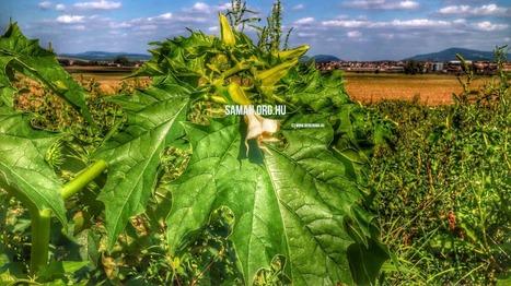 Mérgező növények, növényi mérgek - nadragulya, beléndek, csattanó maszlag   Shamans and Entheogens Hungarian   Scoop.it