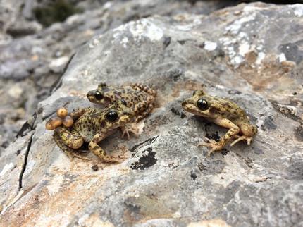 Jaque mate al hongo letal que amenaza a los anfibios / Noticias / SINC | Bichos en Clase | Scoop.it