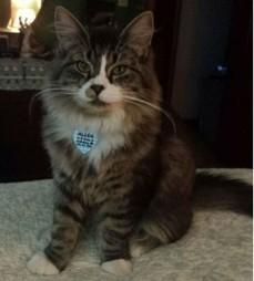 Allen The Gorgeous Australian Maine Coon Kitten | Catnip Daily | Scoop.it