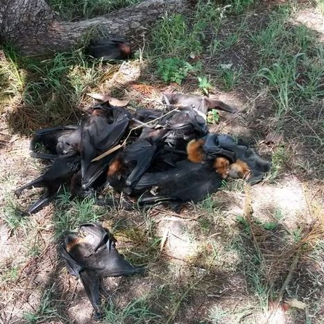 About 100,000 bats dead after heatwave in southern Qld | Bat Biology and Ecology | Scoop.it