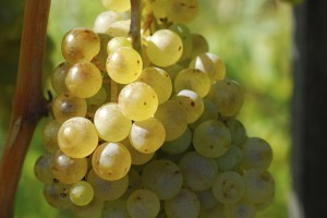 """""""Examine the advantages and disadvantages of using cultured yeasts in wine making."""" 