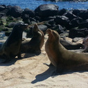 Endangered Galapagos Sea Lions Are Threatened by Dog Diseases | Animales | Scoop.it