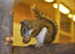 Red squirrels endangered, but breeding program could come to the rescue | Arizona Daily Star | CALS in the News | Scoop.it