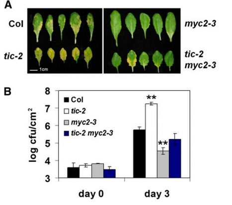 TIME FOR COFFEE Represses Accumulation of the MYC2 Transcription Factor to Provide Time-of-Day Regulation of Jasmonate Signaling in Arabidopsis | jasmonate | Scoop.it
