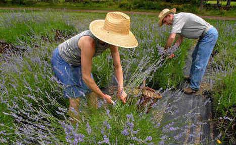 Unusual herbs to grow in your spring garden   Annie Haven   Haven Brand   Scoop.it