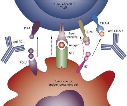 KEYTRUDA® (pembrolizumab, Merck ) New Studies Melanoma, breast cancer TNBC & NHL. | Hematology Oncology 2015 | Scoop.it
