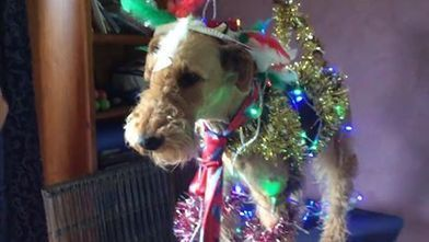 Airedale Christmas Tree | Airedale Terriers | Scoop.it
