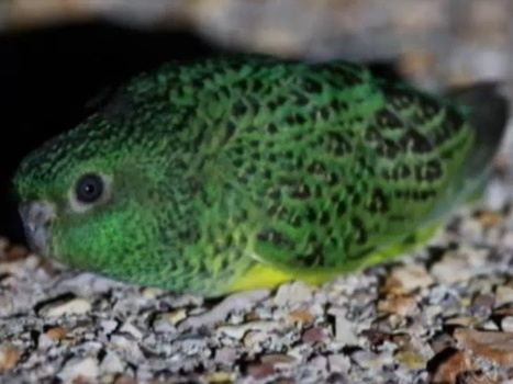 Australia's Rare Night parrot protected under new Queensland Exclusion laws | All Things Zygodactyl | Scoop.it