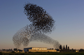 The Murmurations of Starlings | Interesting Photos | Scoop.it