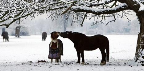 Les chevaux sont capables de dire s'ils veulent ou non leur couverture - Sciences et Avenir | Equidés | Scoop.it