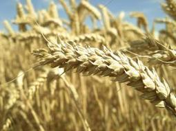 Wheat gains to eight-month high - Independent Online | International Grain Commodity News | Scoop.it