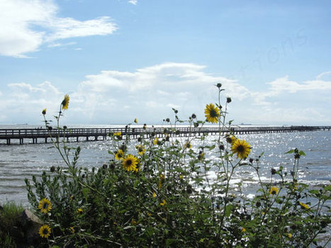 Beach Sunflowers Wooden Fishing Pier Galveston Bay Blue Sky Nature Photography Texas Gulf Coast Coastal Clouds | Texas Coast Living | Scoop.it