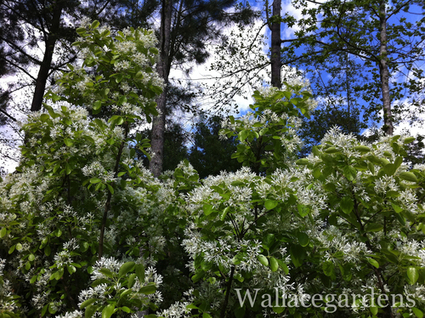 Chioanthus virginicus (Fringetree) | Garden Design with Wallace Gardens | Scoop.it