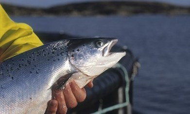 Fears for Scottish salmon farming after China production targets missed | Aquaculture | Scoop.it