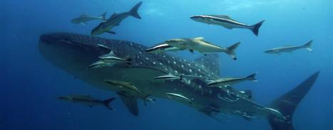 Marine Conservation - Song Saa Foundation | Nixie-Marine News & Views | Scoop.it