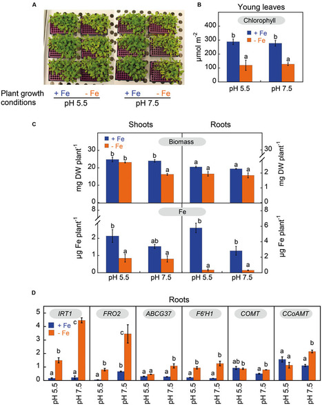 Frontiers | Accumulation and Secretion of Coumarinolignans and other Coumarins in Arabidopsis thaliana Roots in Response to Iron Deficiency at High pH | Plant Physiology | Plant roots and rhizosphere | Scoop.it