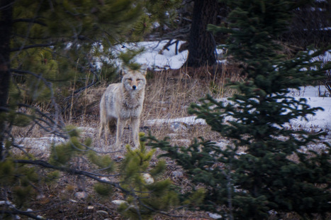 Photos from our Wildlife Tour of Jasper National Park Alberta | theconstantrambler.com | Scoop.it