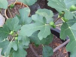Arboles frutales para macetas | Flores y plantas | Scoop.it