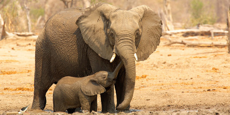 Researchers: Elephants Have Developed A Human-Specific Alarm Call | Heal the world | Scoop.it