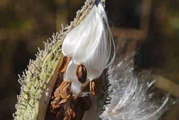 La Mauricie, capitale mondiale de la soie végétale - LaPresse.ca | Diprofav cooperative agricole | Scoop.it