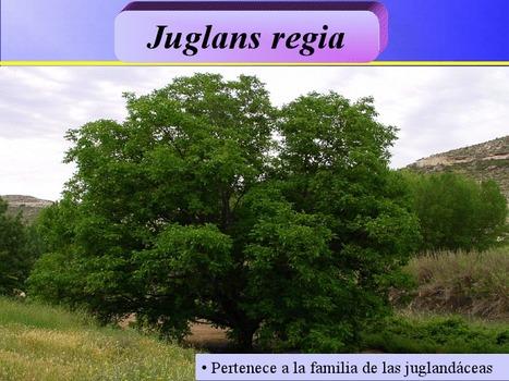 "Regia | La nuez (Juglans regia). Natural y ""casi perfecta"" | Scoop.it"