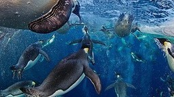 Emperor penguins slide towards endangered list | Environment and Wildlife | Scoop.it