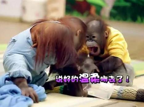 China's growing social media army mobilises against animal TV show | Human-Wildlife Conflict: Who Has the Right of Way? | Scoop.it